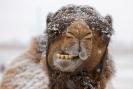 Camel - snow_1